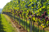 Vineyard_horizontal